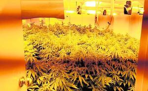 Intervienen 40 plantas de marihuana en una casa