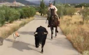 Escapa un toro en el traslado previo al tercer encierro de Moratalla