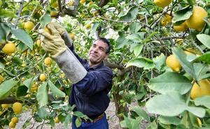 Asaja Murcia valora como «desilusionante y muy difícil» la última campaña citrícola