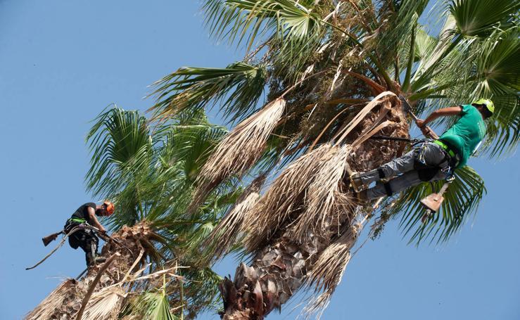 Un novedoso tratamiento protege las 15.000 palmeras del picudo rojo