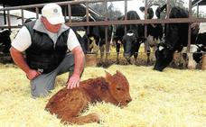 La ganadería murciana se vuelca en la cría de terneros
