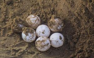 Denuncian actividades nocturnas en Calblanque que perjudican el posible anidamiento de la tortuga boba