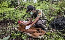 En 40 años no habrá ningún orangután: ¿quiénes son sus asesinos?
