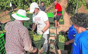 La UPCT hará vino blanco fermentado en barrica