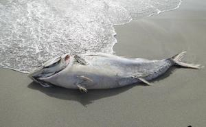 Cierran playas de La Manga por la llegada de atunes muertos tras el temporal