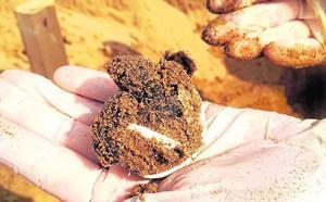 Nacen las primeras tortugas bobas de Calblanque