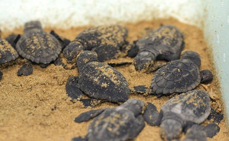 Las primeras tortugas bobas nacidas en un siglo en la Región de Murcia