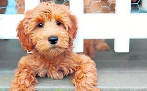 Por qué no deberías tener un perro de estas razas de moda