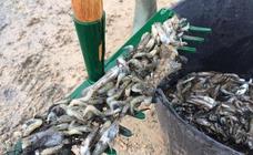 El bajo nivel de oxígeno del Mar Menor provoca la muerte de miles de peces en playas de San Pedro