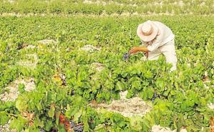 La producción de uva en la DOP de Jumilla alcanzará los 70 millones de kilos