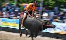 Carreras de búfalos