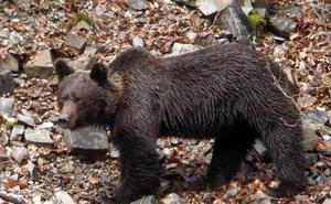 Los osos pardos cantábricos ya buscan alimentos entre las basuras domésticas