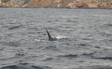 Avistamiento «excepcional» de cuatro orcas en Cartagena