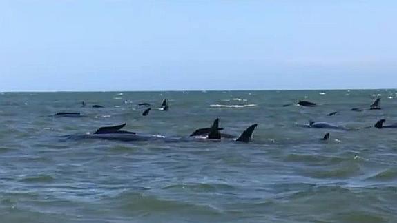 Grupo De Ballenas Varadas En Nueva Zelanda